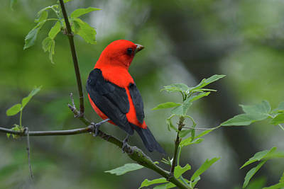 Photograph - Scarlet Tanager by Ann Bridges