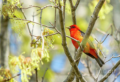 Photograph - Scarlet Tanager by Cheryl Baxter