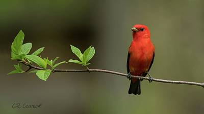 Photograph - Scarlet Tanager by CR Courson