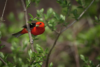 Photograph - Scarlet Tanager by David Watkins