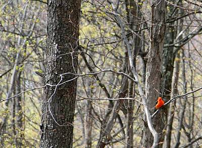 Scarlet Tanager Male Facing Art Print by Donald Lively