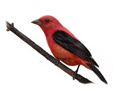 Scarlet Tanager On Branch Art Print