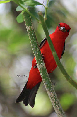 Photograph - Scarlet Tanager by Pat McGrath Avery