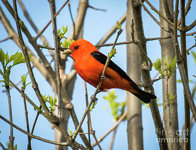 Photograph - Scarlet Tanager by Ricky L Jones