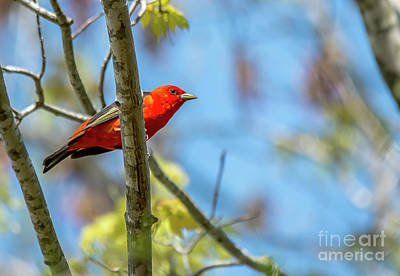 Photograph - Scarlet Tanager Under A Blue Sky by Cheryl Baxter