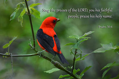 Photograph - Scarlet Tanager With Psalms by Ann Bridges
