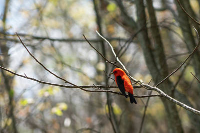 Photograph - Scarlet Tanager Woods Georgia Mountains by Lawrence S Richardson Jr