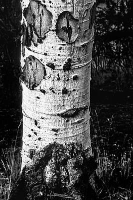 Photograph - Scarred Old Aspen Tree Trunk In Colorado Forest by John Brink