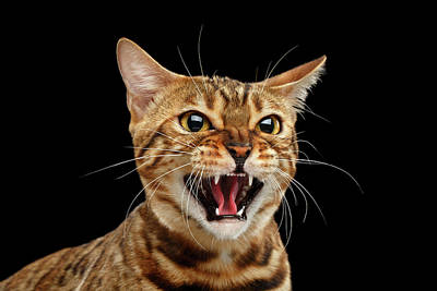 Cat Photograph - Scary Hissing Bengal Cat On Black Background by Sergey Taran