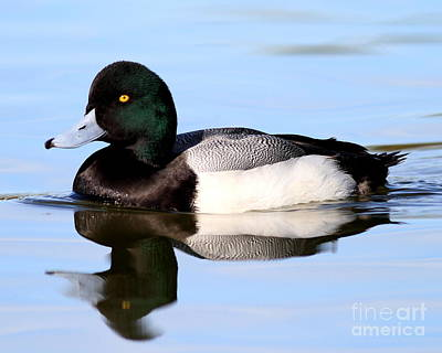 Bif Photograph - Scaup Duck . 7d4955 by Wingsdomain Art and Photography