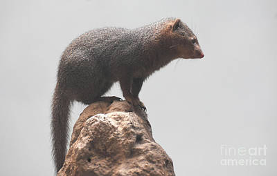 Photograph - Scenic Image Of A Dwarf Mongoose On A Rock by DejaVu Designs