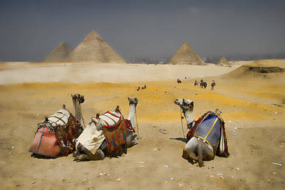 Scenic View Of The Giza Pyramids With Sitting Camels Art Print