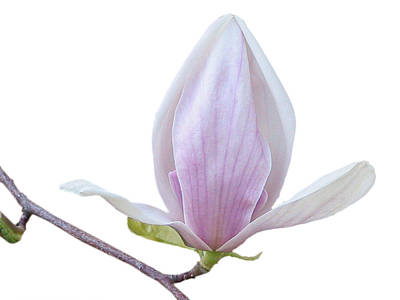 Photograph - Scent Of A Magnolia by Christine Till