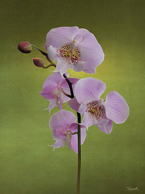 Digital Art - Schiller's Phalaenopsis by Spadecaller