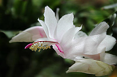 Photograph - Schlumbergera Hybrid Gail Glazier by William Tanneberger