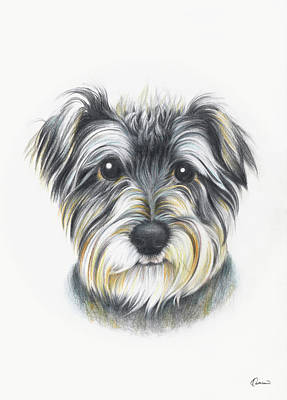 Colored Pencil Portrait Drawing - Schnauzer 02 by Kathleen Wong
