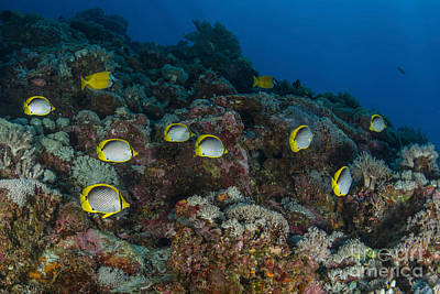 Animals Photos - School Of Butterflyfish And Rabbit Fish by Mathieu Meur