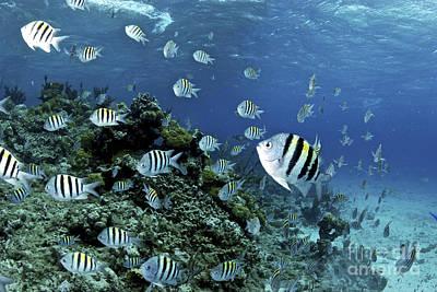 Animals Photos - School Of Sergeant Major Fish, Nassau by Amanda Nicholls
