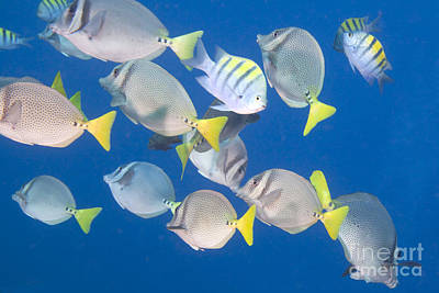 Animals Royalty-Free and Rights-Managed Images - School of Tropical Fish by Anthony Totah