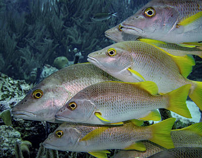 Photograph - School Of Yellowtail Snapper by Jean Noren
