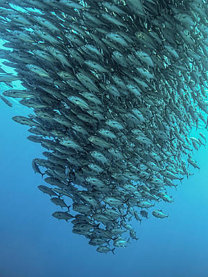 Fish Underwater Photograph - Schooling Jackfishes by Henry Jager