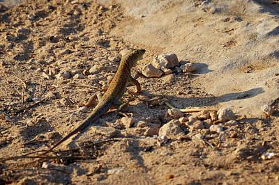 Photograph - Schreiber's Fringe-fingered Lizard by Jouko Lehto