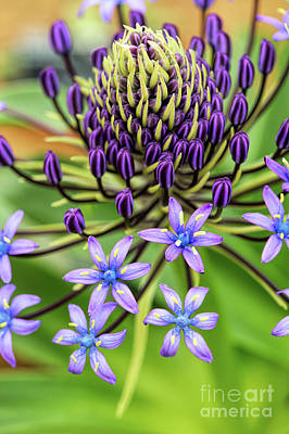 Anthers Photograph - Scilla Hughii  by Tim Gainey