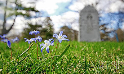 Photograph - Scilla In Cemetery by Charline Xia