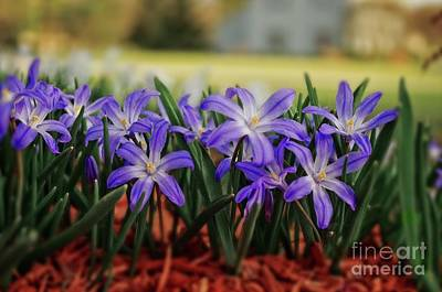 Photograph - Scilla In The Garden by Mary Machare