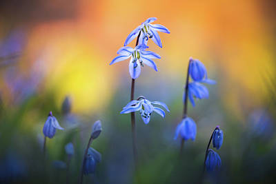Photograph - Scilla Siberica by Kim Carpentier