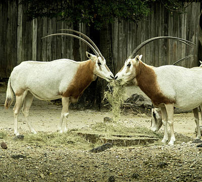 Photograph - Scimitar Horned Oryx Face To Face by Douglas Barnett