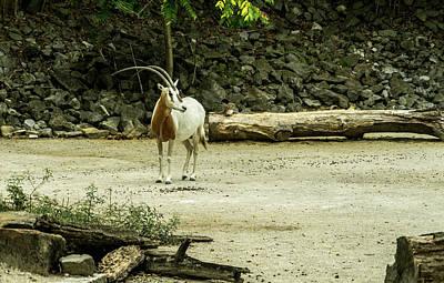 Photograph - Scimitar Horned Oryx Gazing Afar by Douglas Barnett