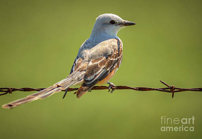 Photograph - Scissor-tailed Flycatcher by David Cutts