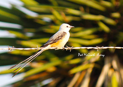 Photograph - Scissor-tailed Flycatcher by Pat McGrath Avery