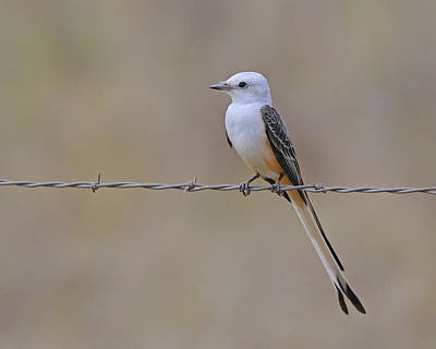 Photograph - Scissor-tailed Flycatcher by Tony Beck