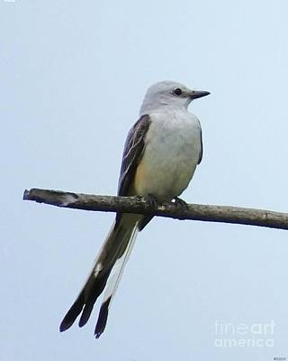 Photograph - Scissortail Flycatcher by Lizi Beard-Ward