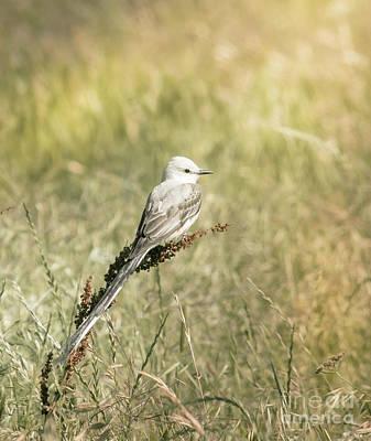 Scissor-tail Photograph - Scissortail Flycatcher by Robert Frederick