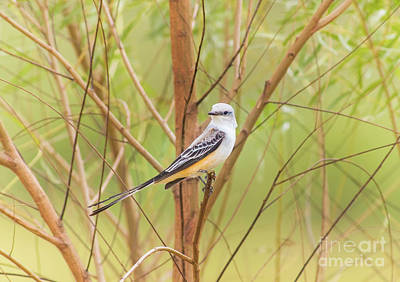 Art Print featuring the photograph Scissortail In Scrub by Robert Frederick