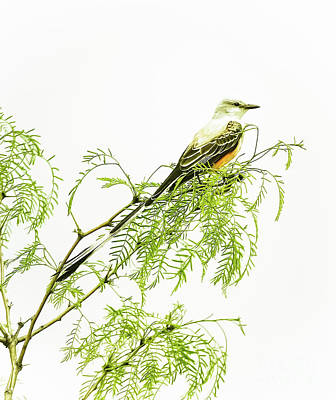 Cabin Window Photograph - Scissortail On Mesquite by Robert Frederick
