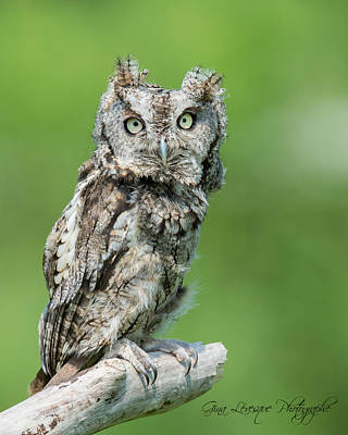 Photograph - Scops Owl by Gina Levesque