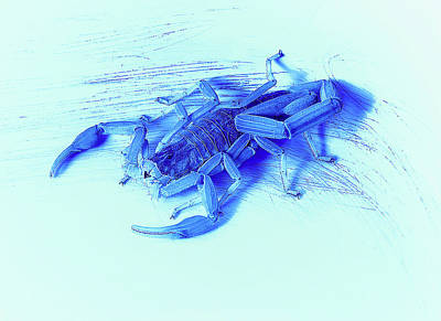 Photograph - Blue Scorpion by Erich Grant