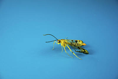 Photograph - Scorpion Fly Walking By by Douglas Barnett