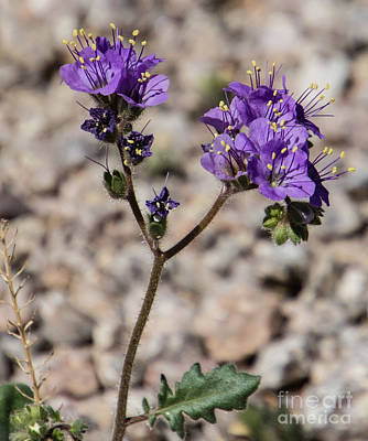 Photograph - Scorpion Weed  A9275-2 by Stephen Parker
