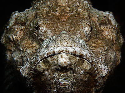 Underwater Photograph - Scorpionfish Portrait by Henry Jager