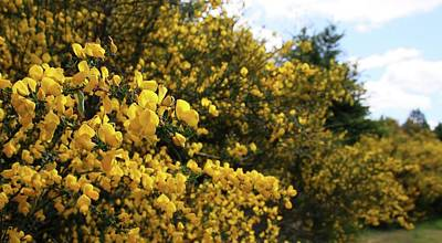 Photograph - Scotch Broom by Katie Wing Vigil