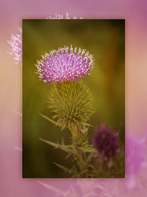 Thistle Photograph - Scotch Thistle by Holly Kempe