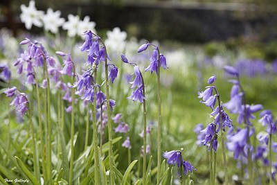 Photograph - Scottish Bluebells by Fran Gallogly