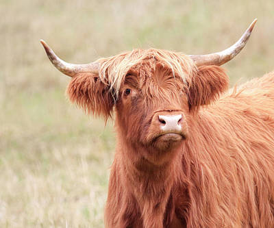 Photograph - Scottish Bull by Steve McKinzie
