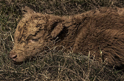 Photograph - Scottish Highland Calf by Phil Cardamone