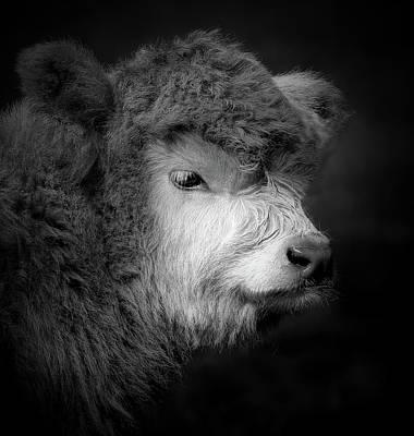 Photograph - Scottish Highland Calf Portrait by Athena Mckinzie